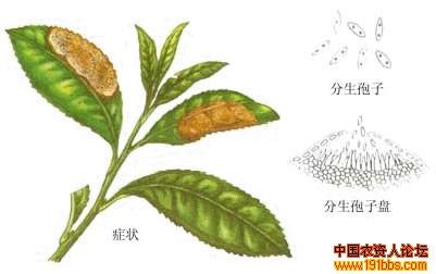 茶网饼病茶树炭疽病_病虫草图