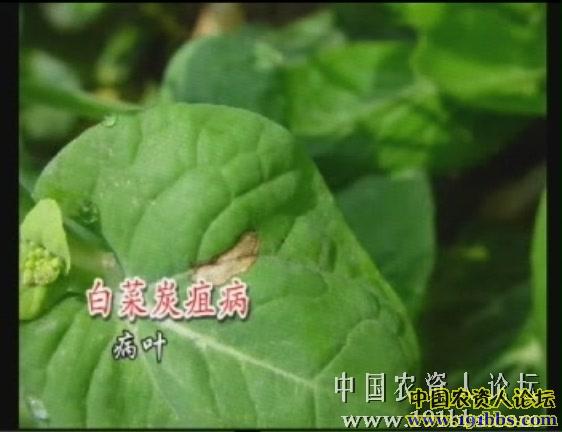 大白菜病害防治图谱_大白菜简笔画