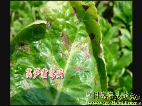 莴笋病害图片 - 植保技术