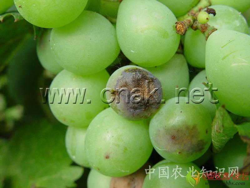 简 介   英文名 Grape downy milde   病原 葡萄生单轴霉Plaamopara viticola(Berk.& Curt.)Berl.& de Toni,属鞭毛菌亚门。   寄主 葡萄等。   危害 是一种世界性的葡萄病害,我国葡萄的主要病害。生长早期发病可使新梢、花穗枯死;中、后期发病可引起早期落叶或大面积枯斑而严重削弱树势,影响下一年产量。病害引起新梢生长低劣、不充实、易受冻害,引起越冬芽枯死。   分布 各葡萄产区。   详 细 资 料 为害症状