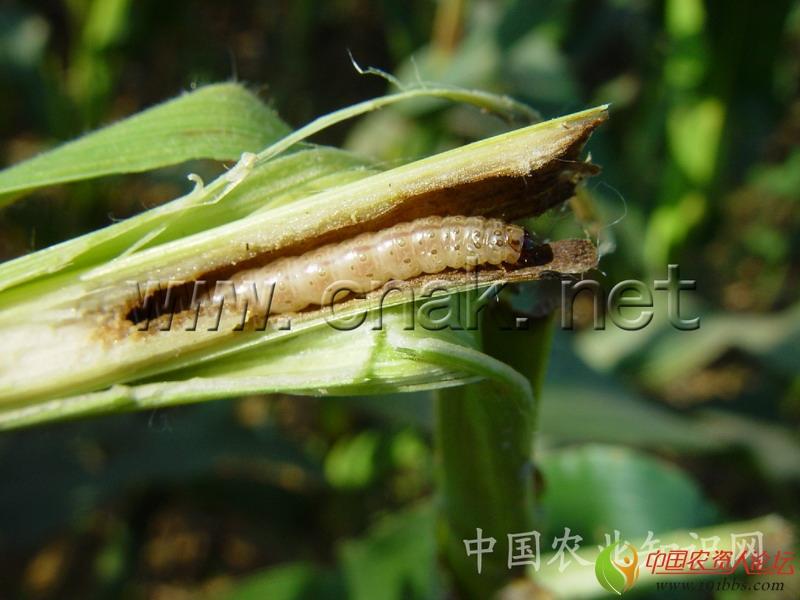 简 介   英文名 Asiatic corn borer   学名 Ostrinia furnacalis (Guene)。   分类 鳞翅目,螟蛾科。   寄主 食性很杂,确认的寄主植物约25种,栽培作物中主要为害玉米、高粱、粟、棉花、大麻等,也能取食小麦、大麦、马铃薯、豆类、向日葵、甘蔗、甜菜、番茄、茄子等。   危害 世界性的蛀食性大害虫。一般发生年春玉米受害后减产10%左右,夏玉米减产20%~30%,大发生年减产达30%以上。以北方春玉米区和黄淮平原春、夏玉米区为最重。   分布 亚洲温带和热带