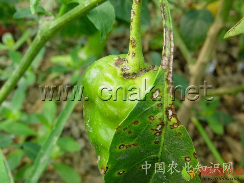 简 介 英文名 Pepper Phytophthora blight 病原 辣椒疫霉Phytophthora capsic Leonian.属鞭毛菌亚门真菌。   寄主 辣椒、番茄、茄子、南瓜、西瓜、白兰瓜、甜瓜、黄瓜、菜瓜等。 危害 辣椒毁灭性病害。田块株发病率20%~30%,发病田块达70%以上,严重地影响辣椒产量,甚至绝收。 分布 全国各地均有发生。   详 细 资 料 为害症状     叶片、茎和果实均可发病。   (1)叶片:叶片发病多在叶缘和叶柄连接处出现不规则暗绿色病斑,水渍状,边缘为黄绿色