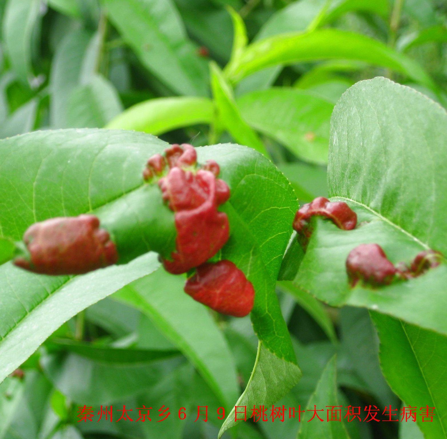 这样的桃树叶病害大家见过吗