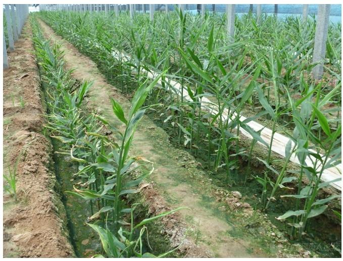 大量元素水溶肥料在大姜苗期上的效果