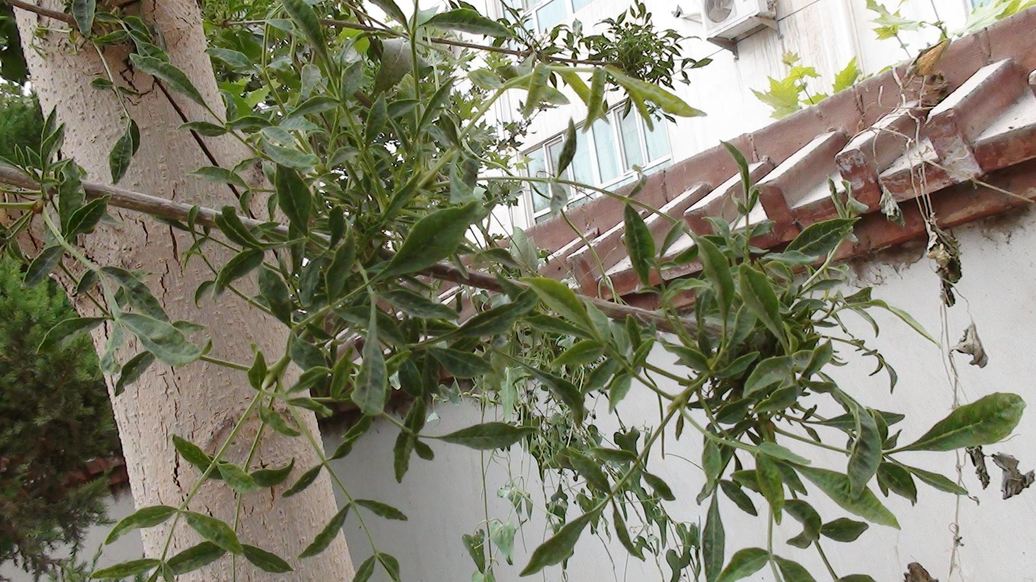 白蜡树的植原体病害或病毒病