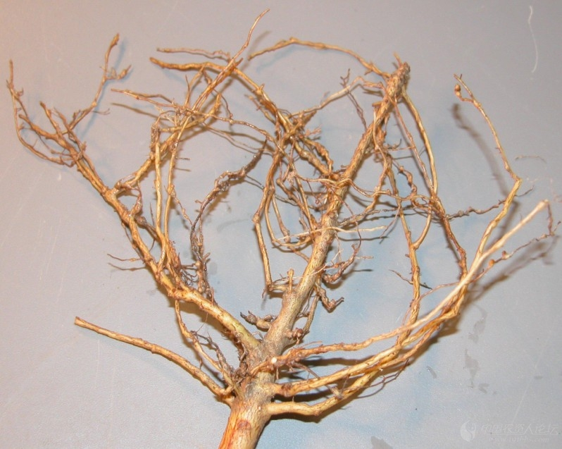 棉花根结线虫