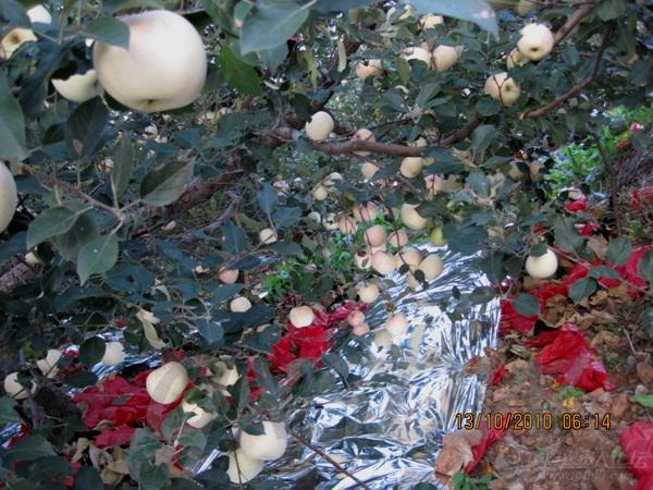苹果树炭疽病,梨树黑星病