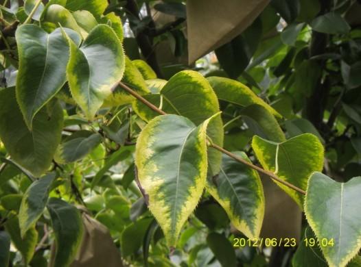 帮忙看看我的梨树叶子得的什么病