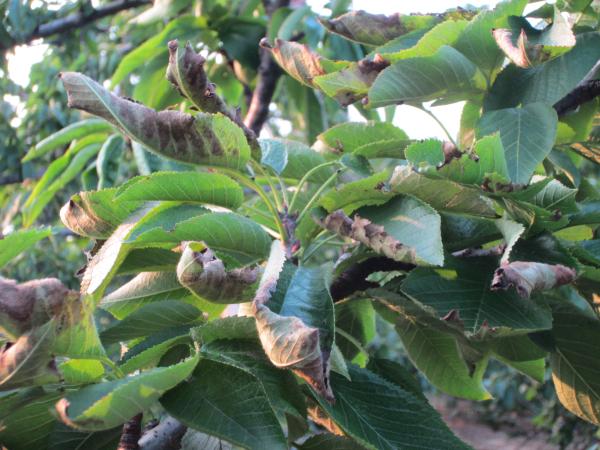 说他的大棚里的樱桃树叶子干边, 陆续几位农户也来反映此事,我发图片