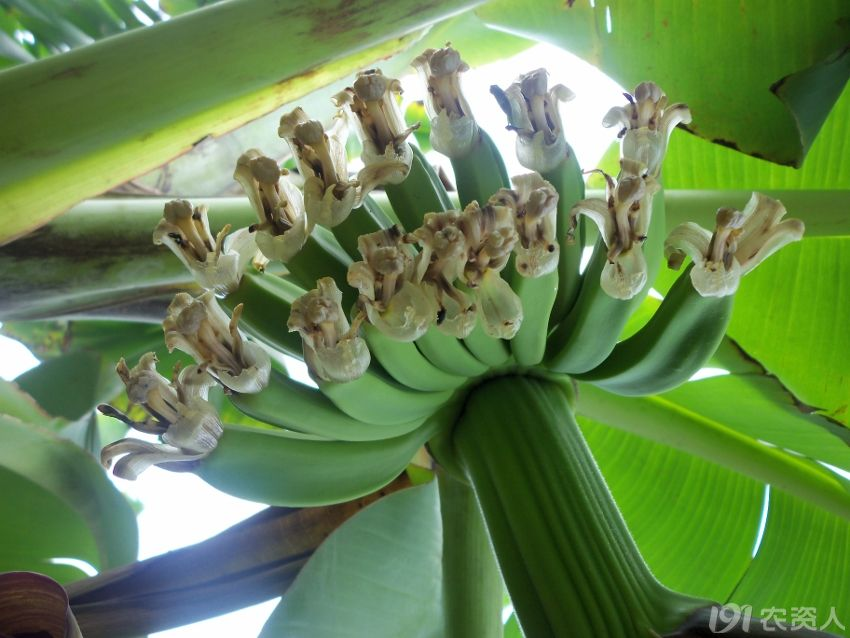 可以了解到香蕉的生长过程