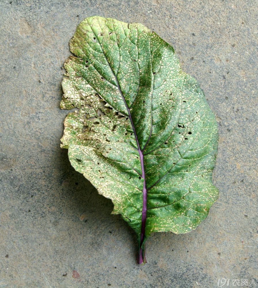 红菜苔叶子上有很多小白色斑点
