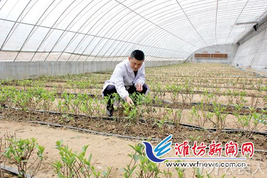 山东寿光尝试大棚里种茶树获得成功 填补空白