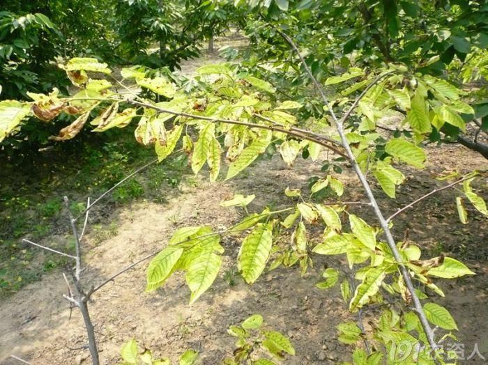 樱桃树叶子出现黄斑 樱桃树叶子图片 樱桃树叶子长锈斑图片