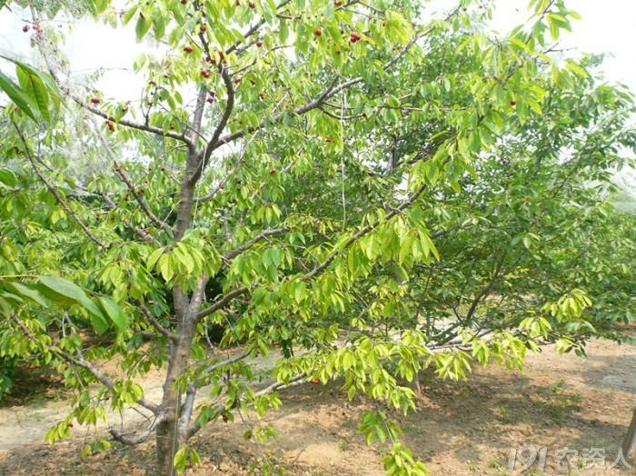 樱桃树叶子长锈斑 樱桃树叶子图片 樱桃树叶子出现黄斑图片
