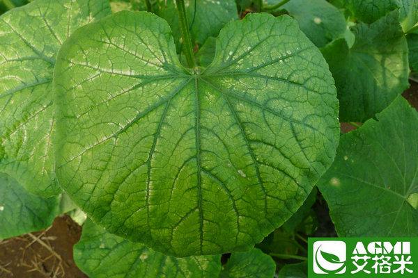 进一步发展会发生严重的叶枯病或叶脉间黄化;发生