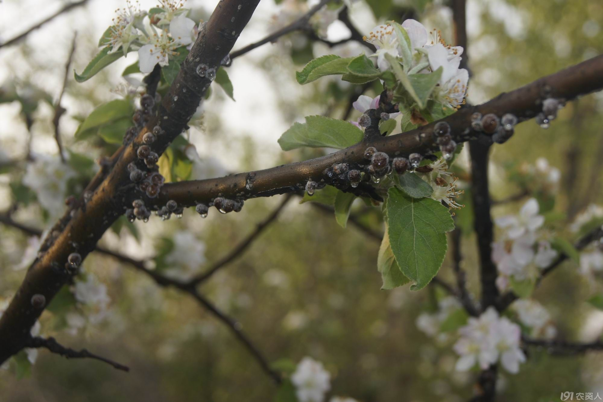 苹果树上球坚蚧的发生特性及防治方法