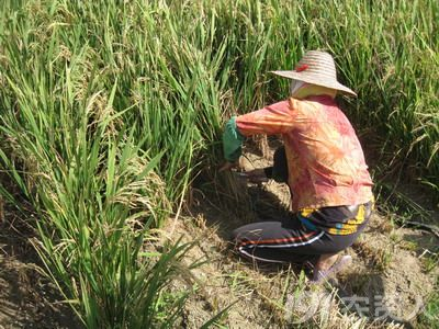 旱直播稻田恶性杂草稗草和千金子发生早