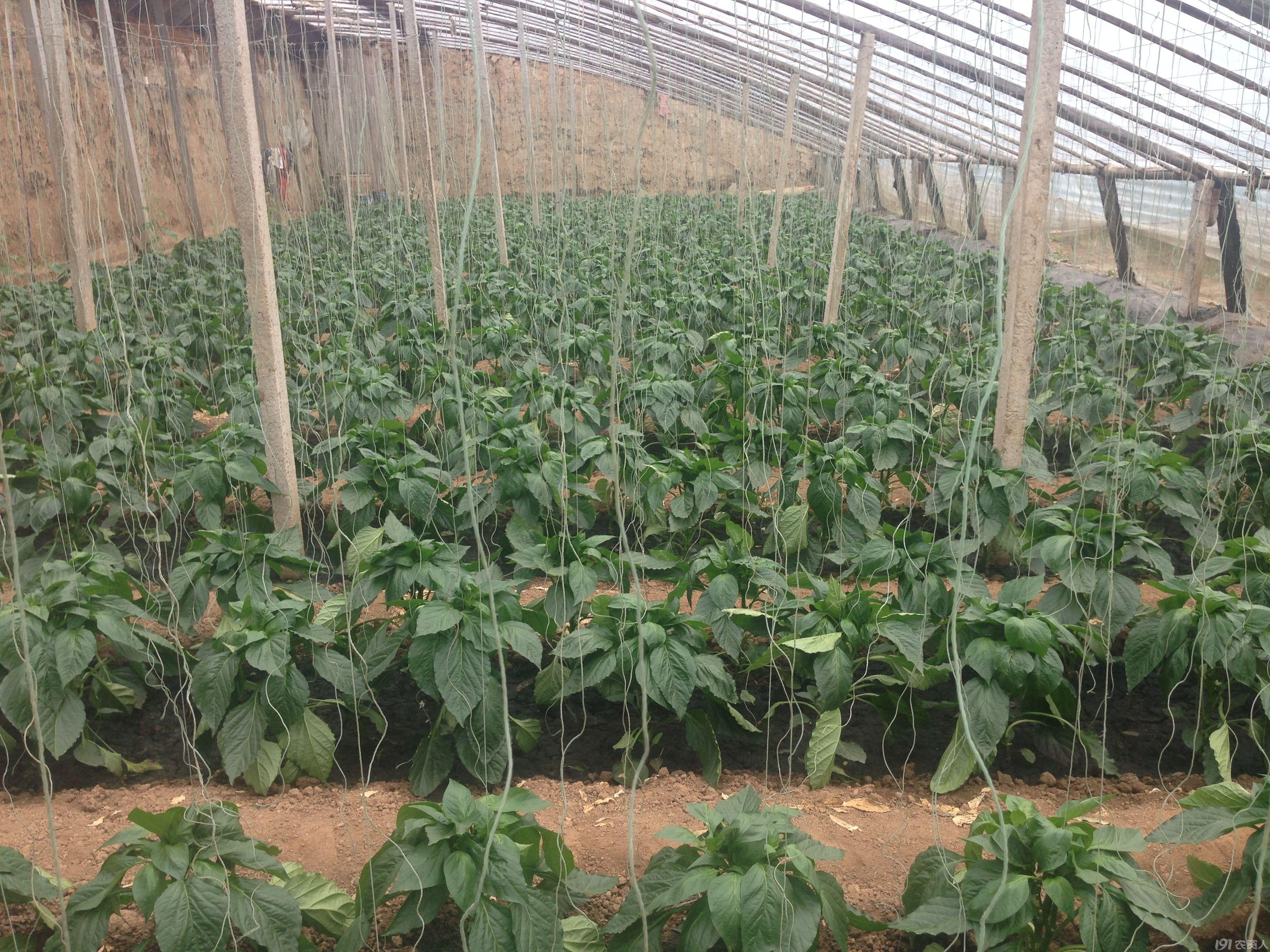 从土壤,根系,光合面积,抗逆抗病抗虫等多个方面同时保证了彩椒的正常