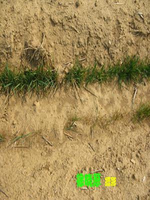 小麦叶片显微结构