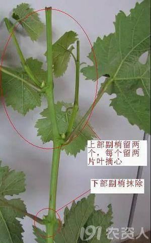 【图文结合】手把手教您葡萄的夏季修剪技术