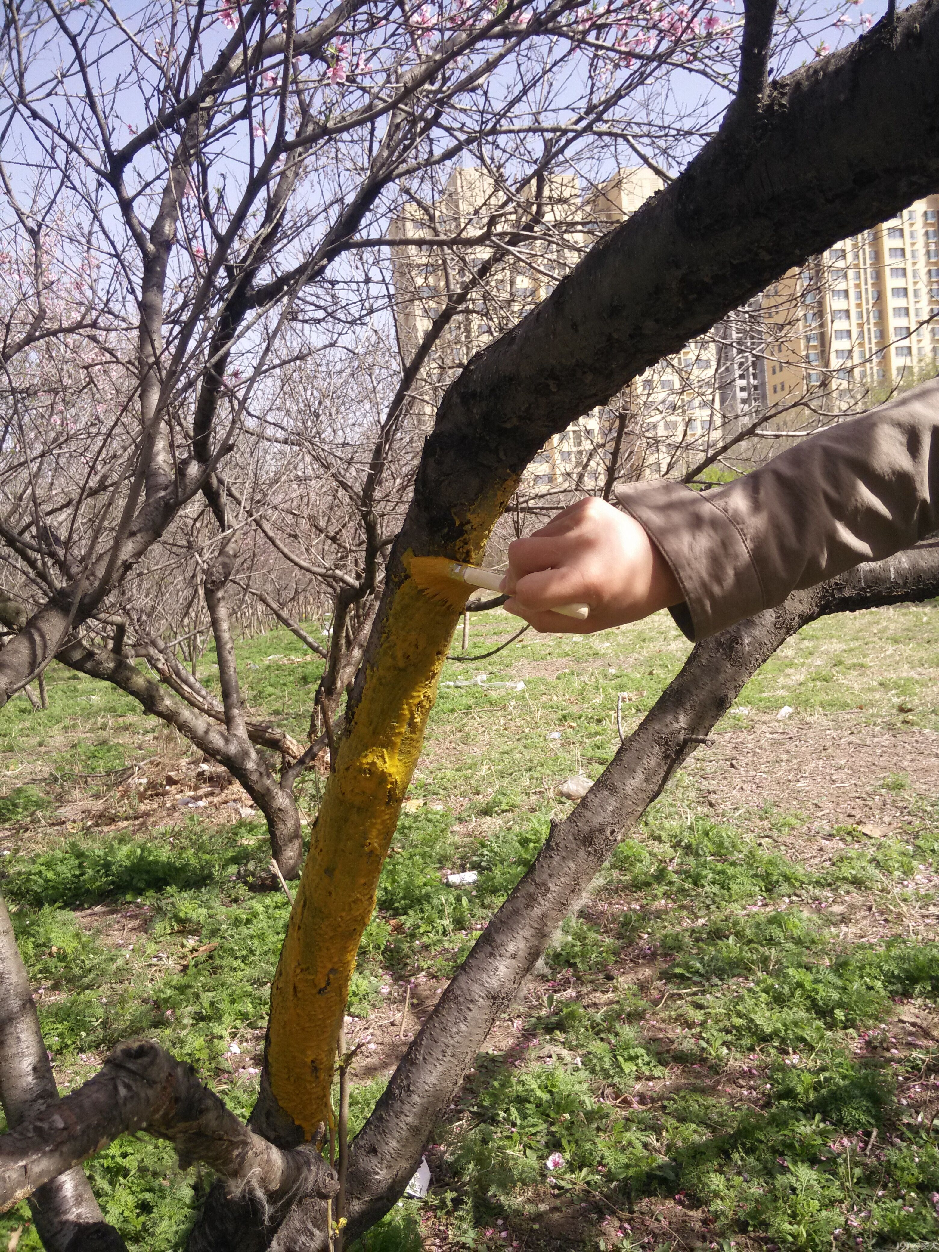 春季来临治桃树流胶病的全过程(实拍)