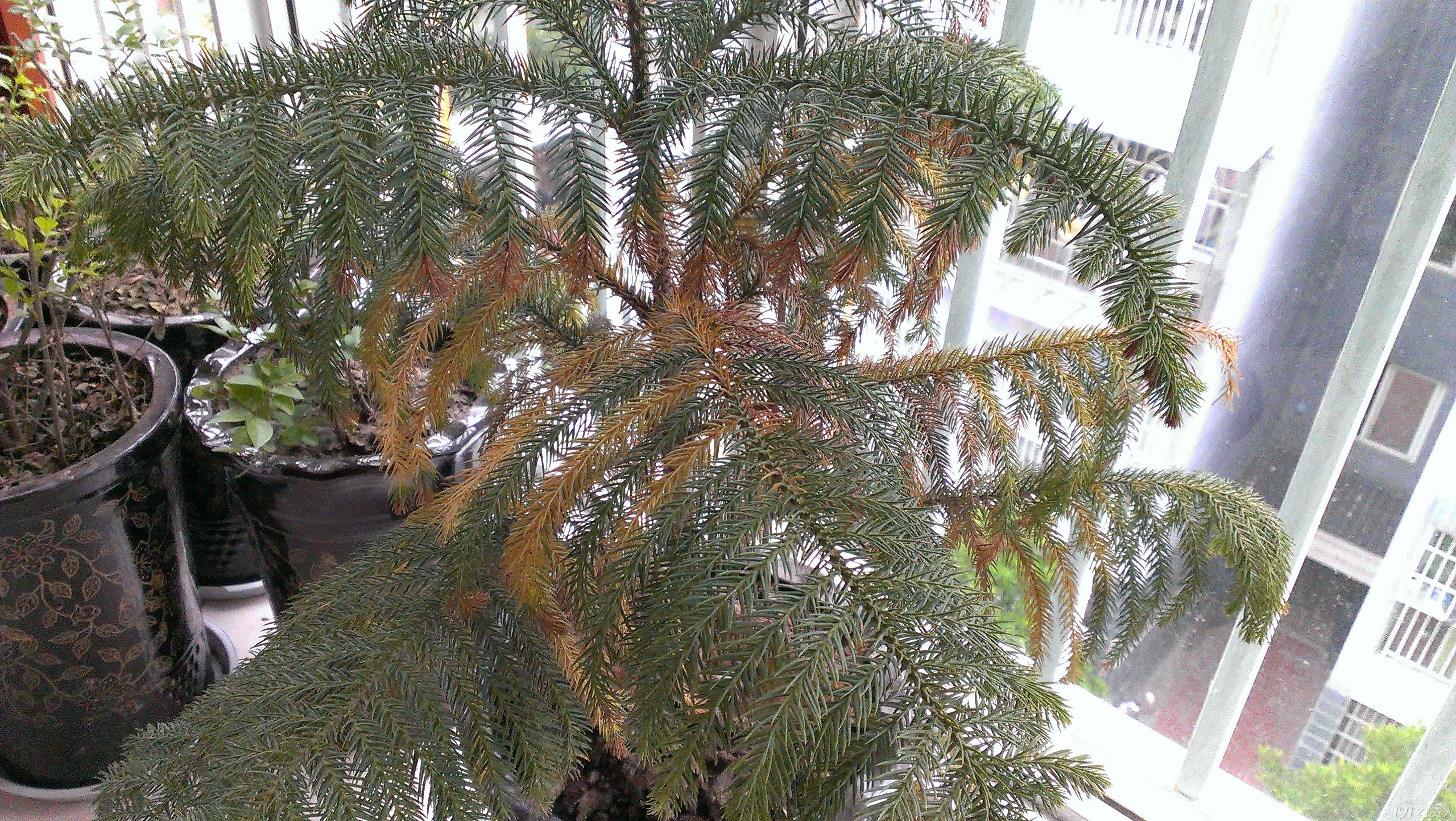 盆栽松树病害的治疗请教?