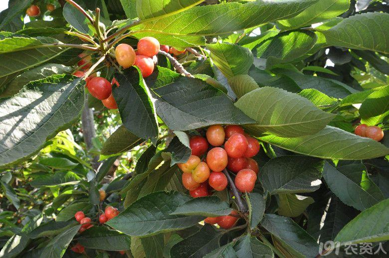 但是很好奇没有水源樱桃树是怎么生长的?
