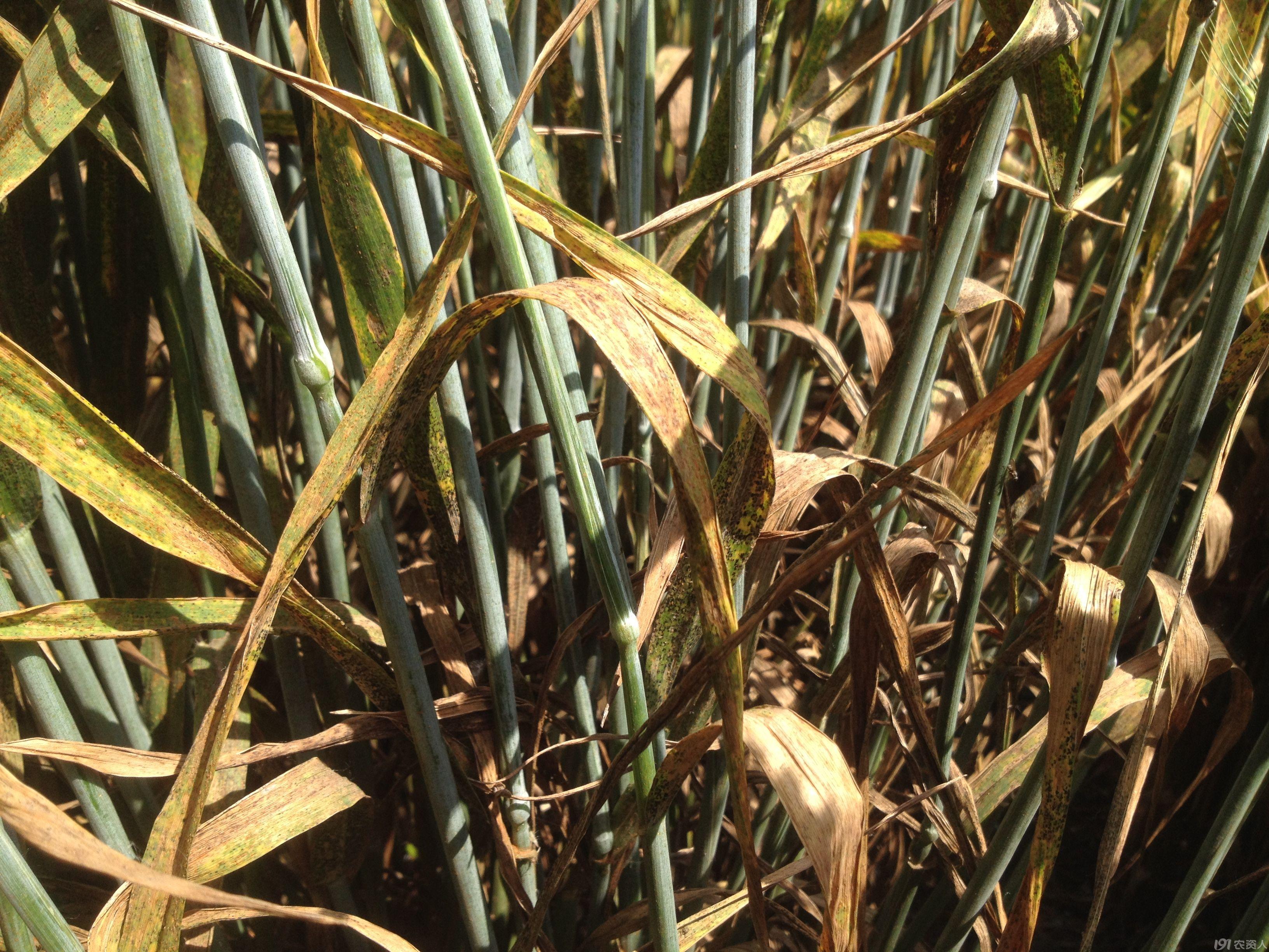 今年小麦叶锈病很严重