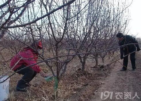 果树冬季用肥有不同 科学管理有诀窍