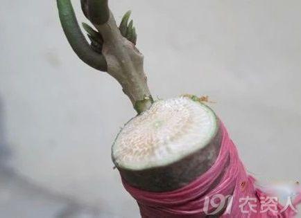 桂花枝接嫁接图解 卓越农业