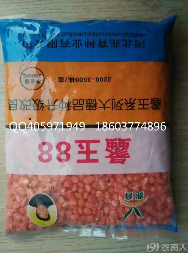 裕丰303玉米种子图片2