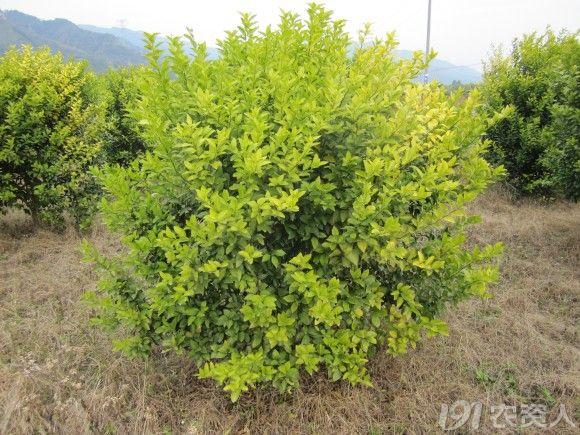 生理性黄化树
