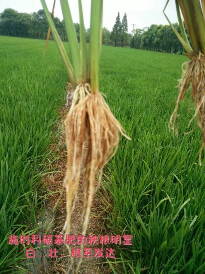 施用时科碳基肥的水稻根系