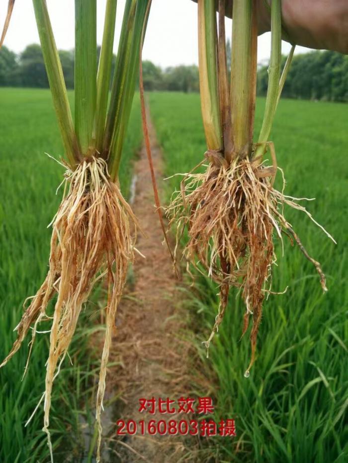 水稻根系对比