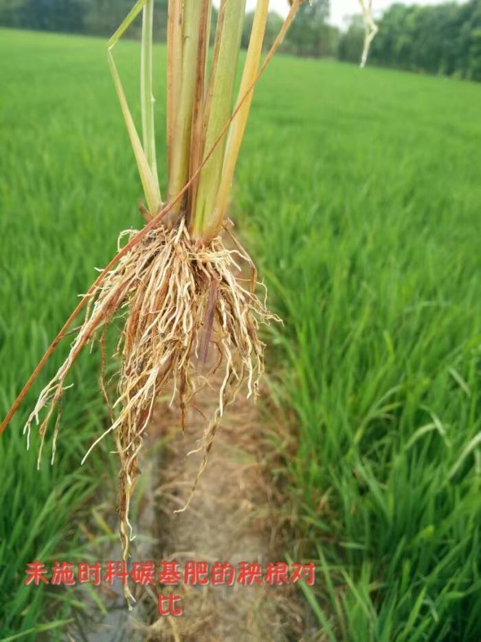未施用时科碳基肥的水稻根系