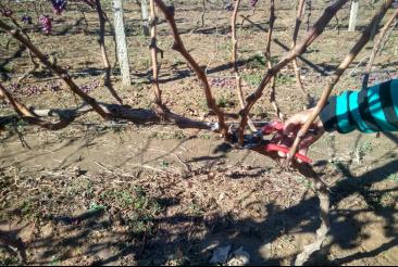 葡萄冬季修剪技术_植保技术