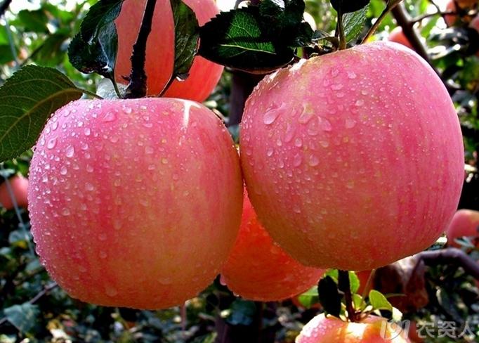 苹果品种之一 富士苹果