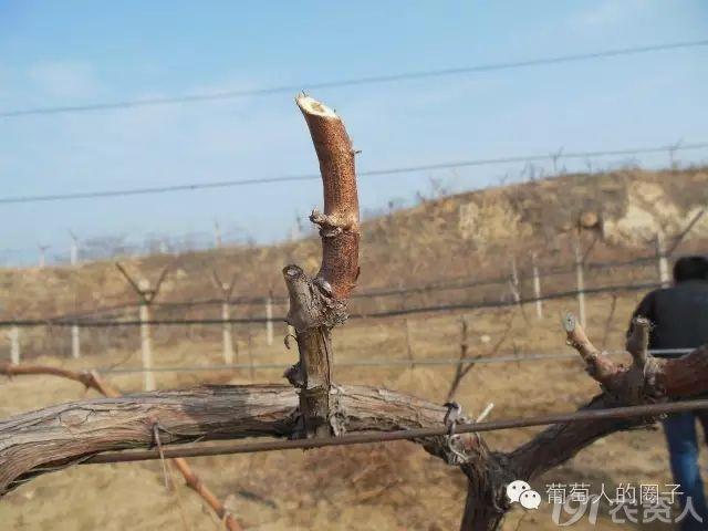 葡萄什么时候冬剪?