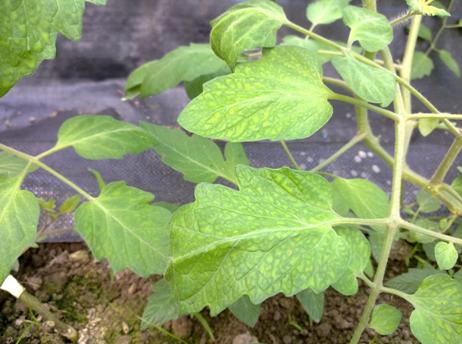 番茄缺水缺肥是什么原因?