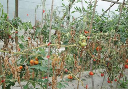 防治番茄根结线虫病 盈辉杀线剂有妙招