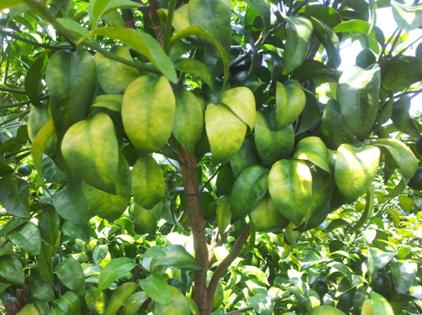 冬季管理结合盈辉杀线剂可有效预防柑橘卷叶