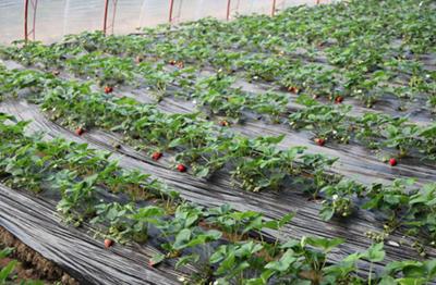 草莓生长不良怎样解决?
