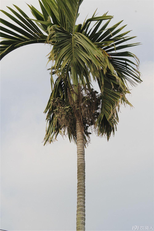 【知客】漫山遍野的槟榔树