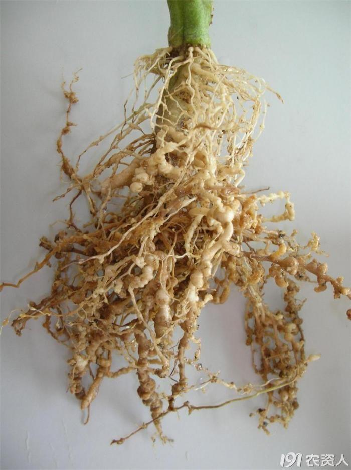 如何进行植物病害的田间诊断? 植物保护 191农资人 农技社区服务平台