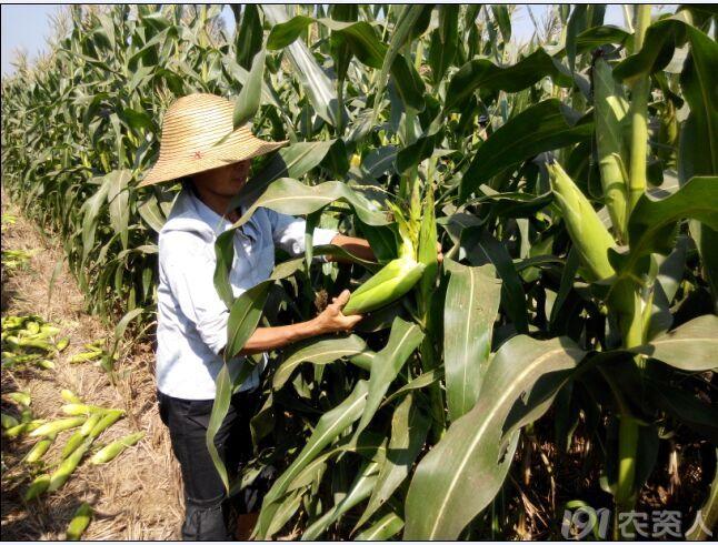 河南玉米成熟期_河南的种地大户的,请深度关注;种过订单甜玉米的请指导 ...