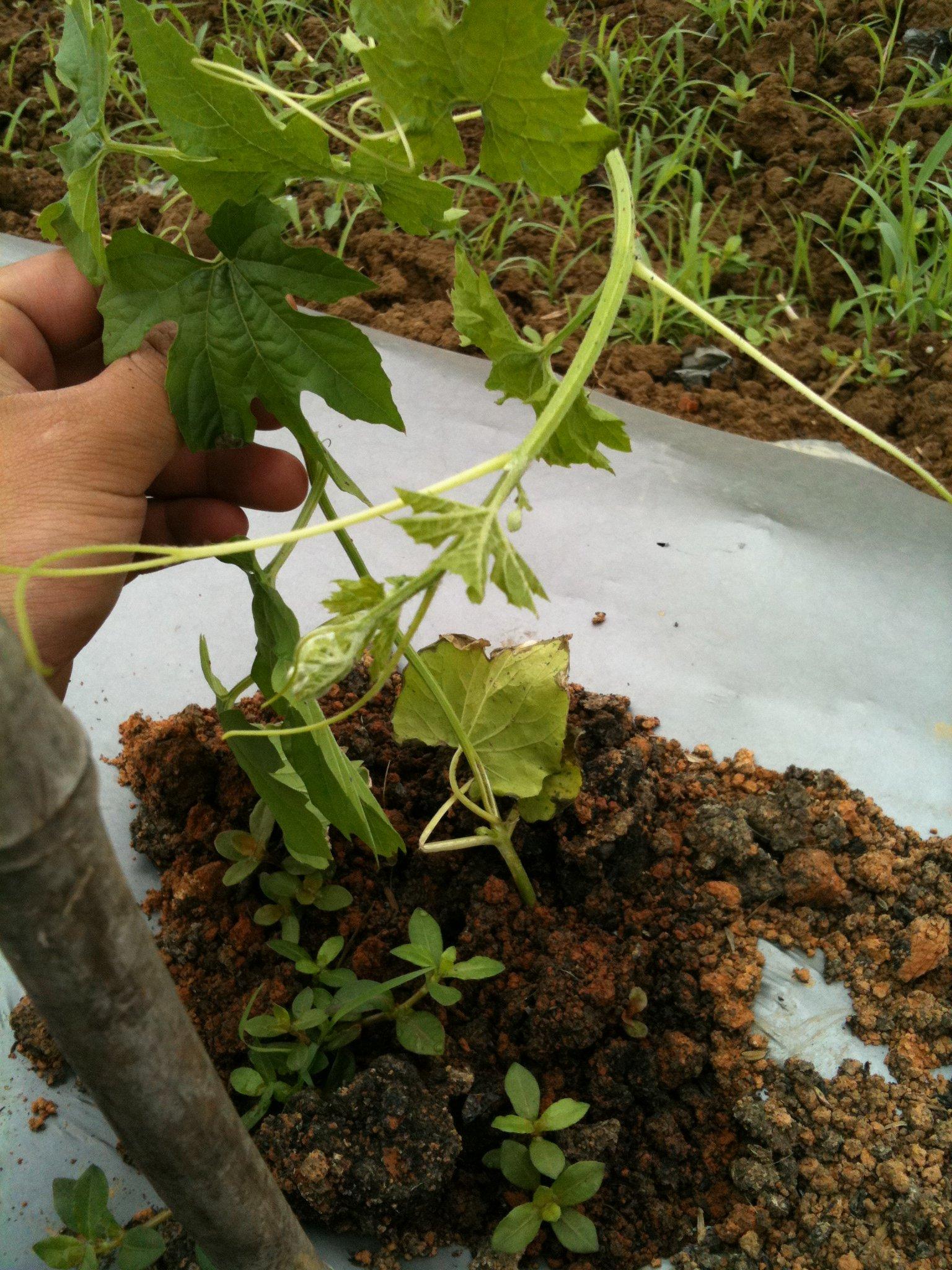 苦瓜根部开裂和叶子上长黄点