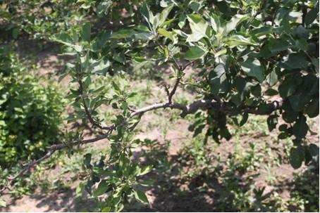 中药杀菌剂在苹果树上的应用效果案例