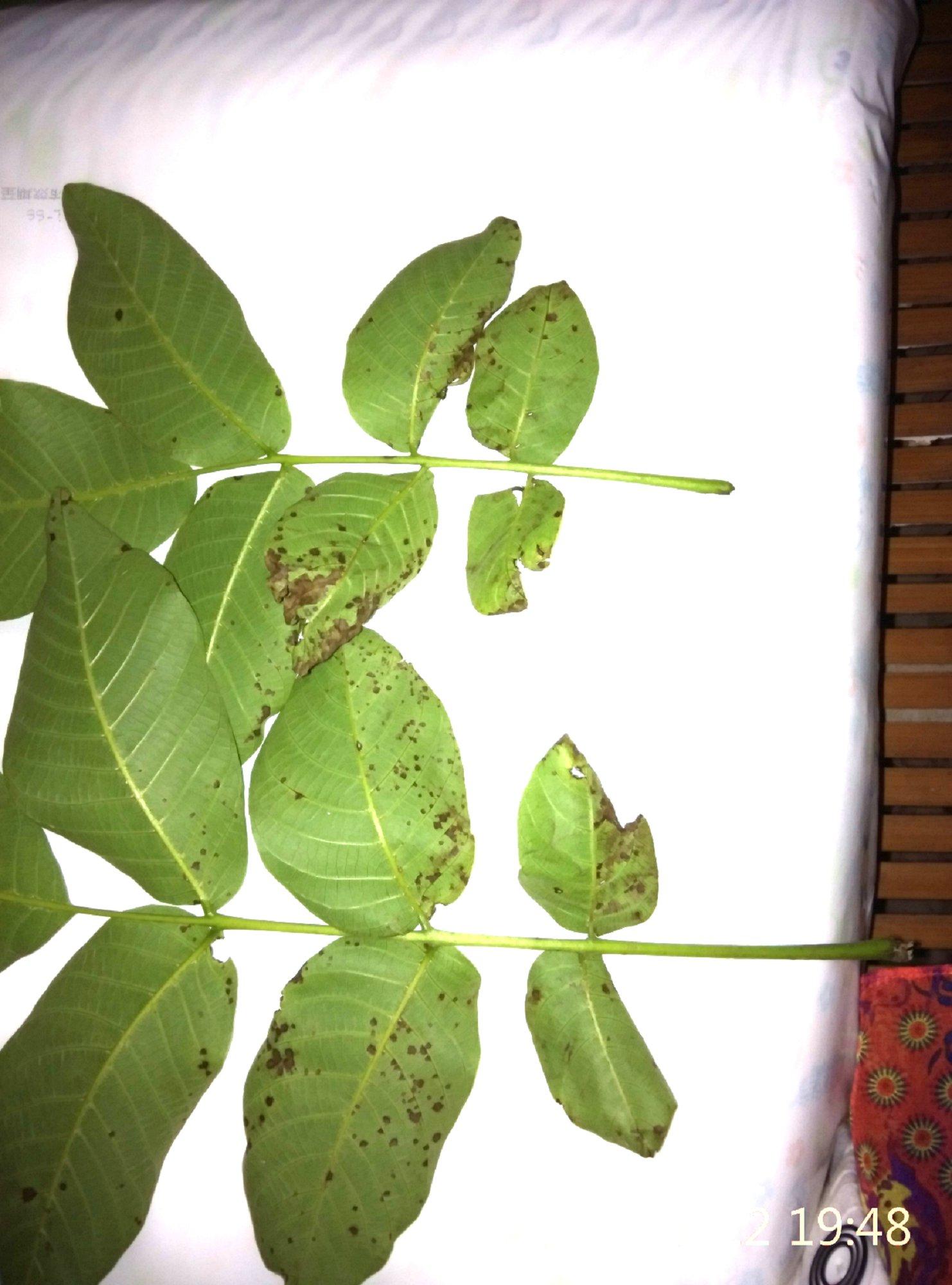 核桃树病害图片1_水果医院