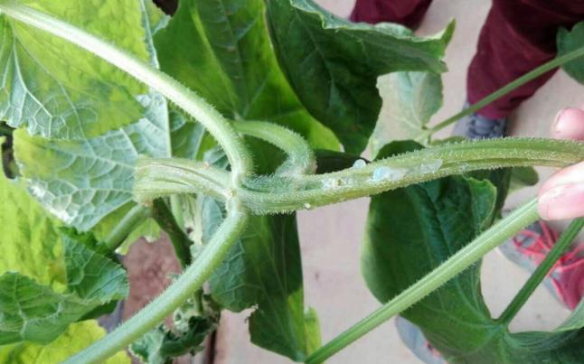 黄瓜蔓枯病流胶