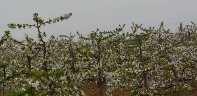 大樱桃纺锤树形培养与修剪技术